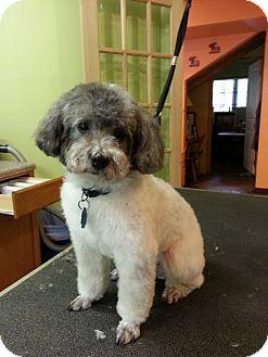 Poodle (Miniature) Mix Dog for adoption in Harrisonburg, Virginia - Zoe (DC)