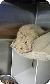 Domestic Mediumhair Cat for adoption in Stillwater, Oklahoma - Bruno