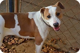 Labrador Retriever/Boxer Mix Dog for adoption in Hagerstown, Maryland - Isabella