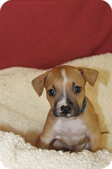 Boxer Mix Puppy for adoption in Waldorf, Maryland - Echo