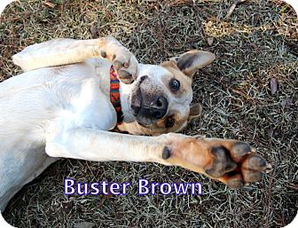 Spaniel (Unknown Type)/Australian Cattle Dog Mix Dog for adoption in Groton, Massachusetts - Buster Brown