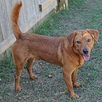 Labrador Retriever Mix Dog for adoption in Jackson, Mississippi - Big Red