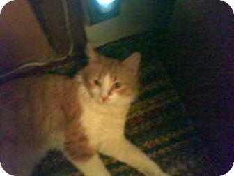 Domestic Mediumhair Cat for adoption in Carlisle, Pennsylvania - Reeses (CP)