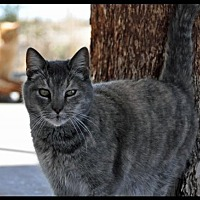 Domestic Shorthair Cat for adoption in Alamogordo, New Mexico - GIZMO