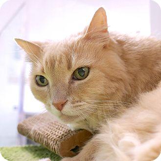 Domestic Mediumhair Cat for adoption in Montclair, California - Rusty