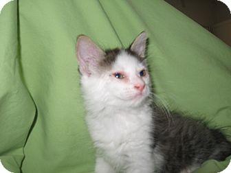 Domestic Mediumhair Kitten for adoption in Fallon, Nevada - Missy