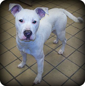 Pit Bull Terrier/American Bulldog Mix Dog for adoption in White Cloud, Michigan - Tinsel