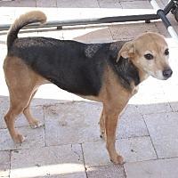 Beagle Mix Dog for adoption in Chandler, Arizona - BAGEL
