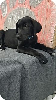Labrador Retriever Mix Puppy for adoption in Plainfield, Illinois - Rebel