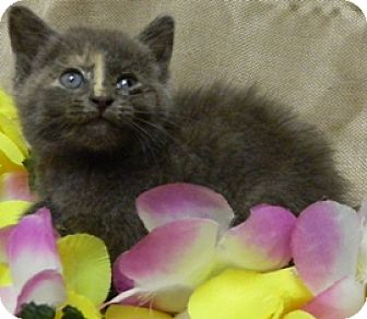 Domestic Shorthair Kitten for adoption in Columbus, Nebraska - Madison