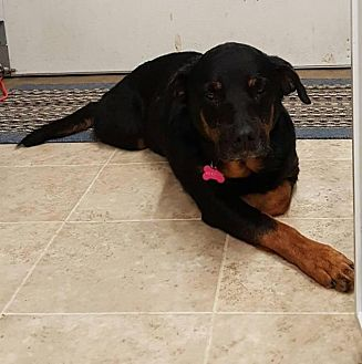 Rottweiler Mix Dog for adoption in Rexford, New York - Jayda