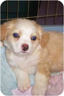 Maltese/Pekingese Mix Puppy for adoption in Raeford, North Carolina - TINY T
