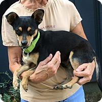 Adopt A Pet :: Duke - overload of cuteness - Chicago, IL