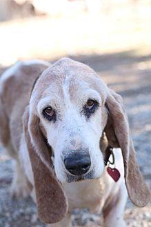 Basset Hound Dog for adoption in Acton, California - Cocobean