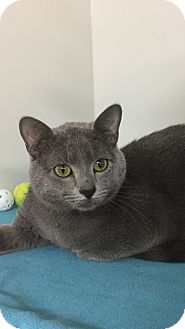 Domestic Shorthair Cat for adoption in Seville, Ohio - Champ