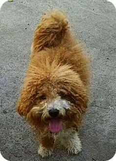 Poodle (Miniature) Mix Dog for adoption in Monrovia, California - Scotty