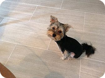 Yorkie, Yorkshire Terrier Mix Dog for adoption in Mary Esther, Florida - Yankee