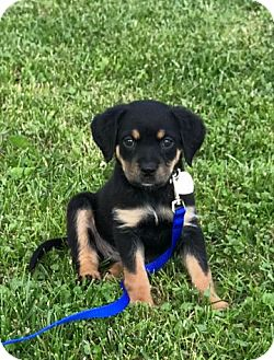 Rottweiler/Spaniel (Unknown Type) Mix Puppy for adoption in Columbus, Ohio - Colby
