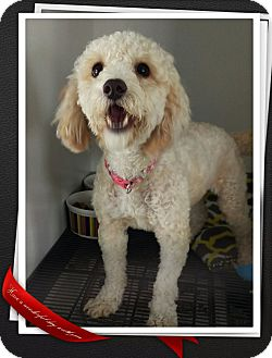 Poodle (Standard) Mix Dog for adoption in Apache Junction, Arizona - Ginger