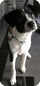 Rat Terrier/Terrier (Unknown Type, Medium) Mix Puppy for adoption in Romeoville, Illinois - Bryar