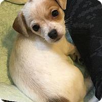 Jack Russell Terrier/Rat Terrier Mix Puppy for adoption in Arlington, Washington - Tai Tai