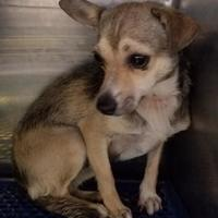 Chihuahua Mix Dog for adoption in Tulsa, Oklahoma - Indy