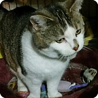 Abyssinian Cat for adoption in Sylvan Lake, Michigan - Summer - FIV Positive