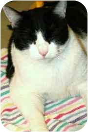 Domestic Shorthair Cat for adoption in Walker, Michigan - Domino
