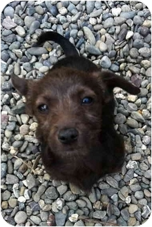 Dachshund/Terrier (Unknown Type, Small) Mix Puppy for adoption in Sacramento, California - Jill!