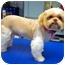 Photo 1 - Shih Tzu Dog for adoption in Los Angeles, California - JOSEE