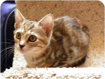 Domestic Shorthair Kitten for adoption in Dale City, Virginia - Mocha