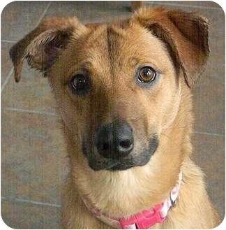 Labrador Retriever/Shepherd (Unknown Type) Mix Dog for adoption in Chicago, Illinois - Molly(ADOPTED!)