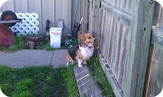 Pembroke Welsh Corgi Dog for adoption in Inola, Oklahoma - Hannan