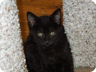 Domestic Shorthair Kitten for adoption in Medina, Ohio - Flick