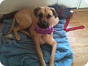 Great Dane Dog for adoption in Baden, Pennsylvania - Duke
