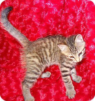 Domestic Shorthair Kitten for adoption in Bentonville, Arkansas - Gilly