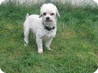 Poodle (Miniature) Mix Dog for adoption in Tumwater, Washington - Benny