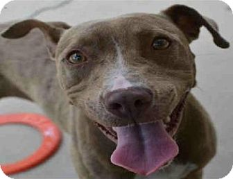 Pit Bull Terrier Mix Dog for adoption in Gainesville, Florida - Tipsy