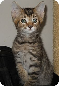 Domestic Shorthair Kitten for adoption in North Highlands, California - Delmar