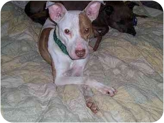 American Staffordshire Terrier Mix Dog for adoption in Long Beach, New York - Mickey