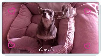 Chihuahua Dog for adoption in Hartsville, Tennessee - Corrie