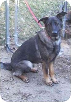 German Shepherd Dog Dog for adoption in Tolland, Connecticut - Zeke