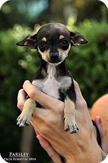 Chihuahua Mix Puppy for adoption in Portland, Oregon - PARSLEY