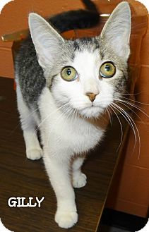 Domestic Shorthair Kitten for adoption in Lapeer, Michigan - GILLY--URGENT!!SPONSORED!