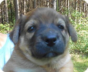 German Shepherd Dog/Australian Shepherd Mix Puppy for adoption in Allentown, New Jersey - Rex