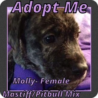 Mastiff/American Pit Bull Terrier Mix Puppy for adoption in Cheney, Kansas - Molly