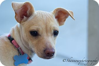 Dachshund/Terrier (Unknown Type, Small) Mix Puppy for adoption in Vacaville, California - Ruffles