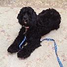 Adopt A Pet :: Koko