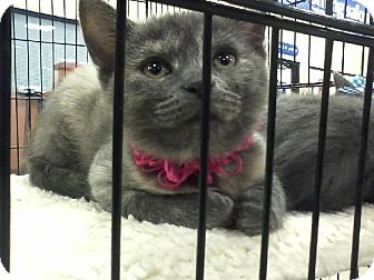 Domestic Shorthair Kitten for adoption in Wilmore, Kentucky - Sylvie