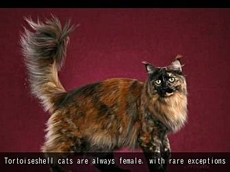 Maine Coon Cat for adoption in Sunny Isles Beach, Florida - Buttercup